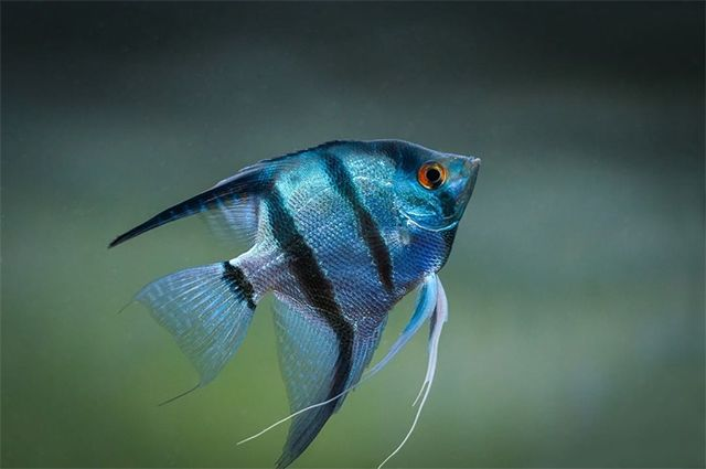 Angelfish is a popular freshwater fish from the family Cichlidae