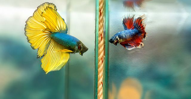 Betta fish are native to Asia and is is a popular fish in the aquarium trade.