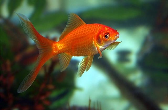 Common Goldfish is freshwater and popular fish for beginners