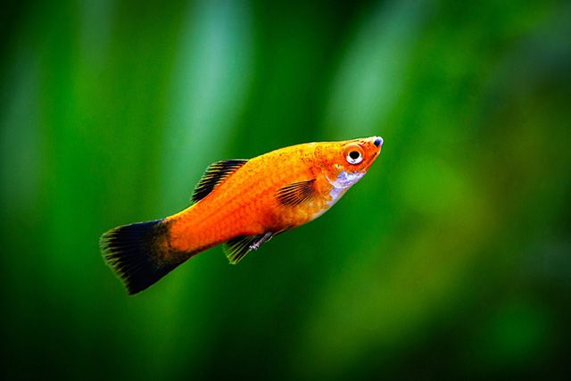 Platy is a common name of freshwater aquarium fish for beginners