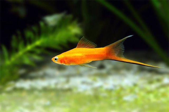 Swordtail is also a perfect choice for beginner fishkeepers