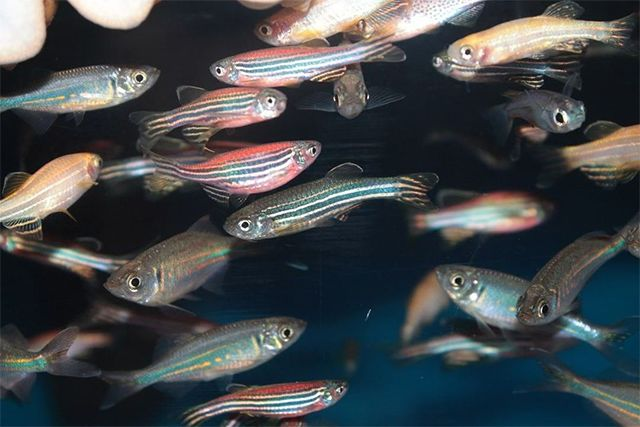 Zebrafish or Zebra Danios is one of the best choices for the beginners