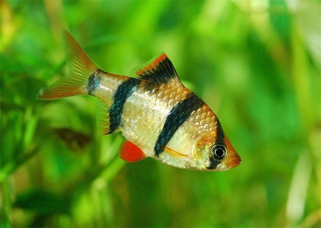 Most barb fish are small, colorful, active and ideally suited for the community aquarium